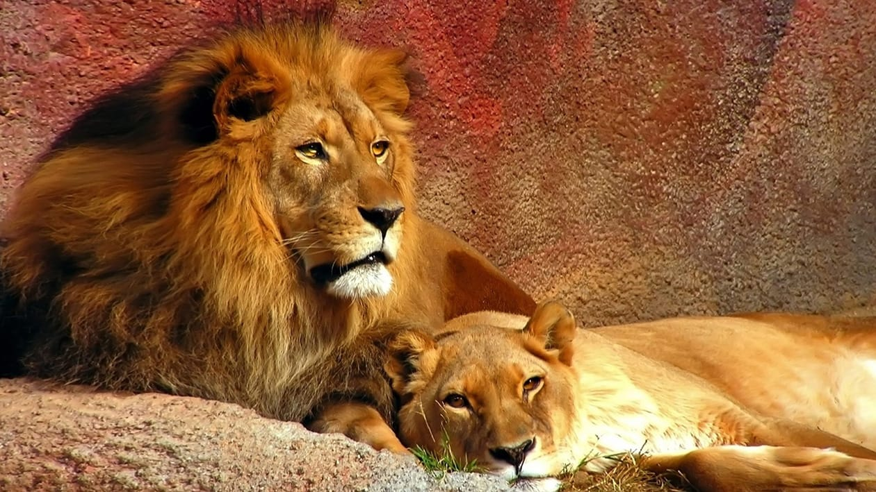 Couple-Male-and-Female-Lions