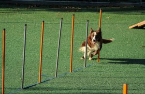 training dog with professional commands