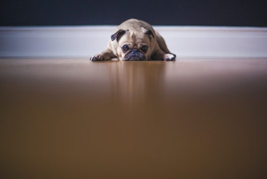 dog whining