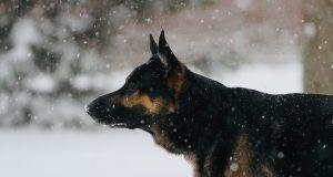German Sheppard protection dog