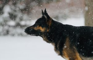 German Sheppard protection dog