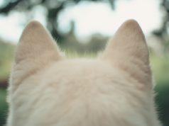 Dog ear mites