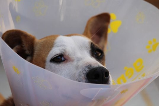 dog in pain unhappy