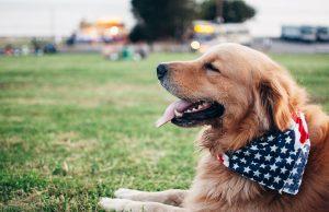 heavy breed dog Labrador