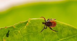 how to remove tick from a dog